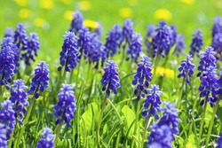 Blue muscari flowers (Grape Hyacinth) in the garden, first purple spring flowers, little hyocinths in the field, spring floral background, soft focus