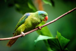 Blue-naped parrot, Tanygnathus lucionensis, colorful parrot, native to Philippines. Green parrot with red beak and light blue rear crown sitting on twig isolated against dark green jungle background.