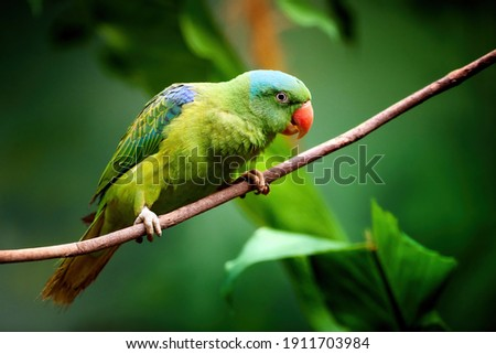 Blue-naped parrot, Tanygnathus lucionensis, colorful parrot, native to Philippines. Green parrot with red beak and light blue rear crown sitting on twig isolated against dark green jungle background. Stock fotó ©