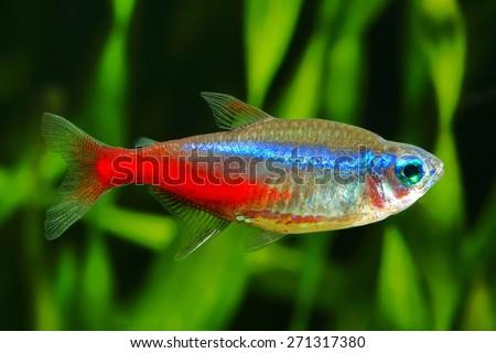 Caudalie Logo Vector EPS Download #0: stock photo blue neon tetra fish