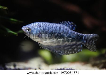 Blue or opaline gourami  (Trichopodus trichopterus) Foto stock ©