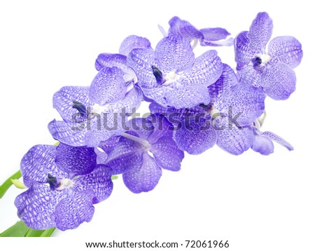 Blue orchid isolated on white
