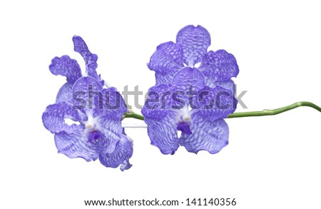 Blue orchid isolated on white background.