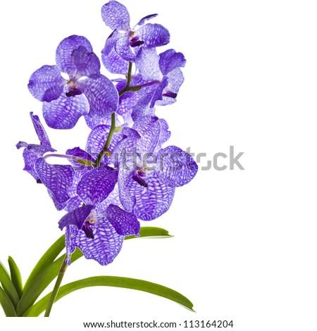 Blue orchid (vanda sansai blue) border close up  isolated on white background