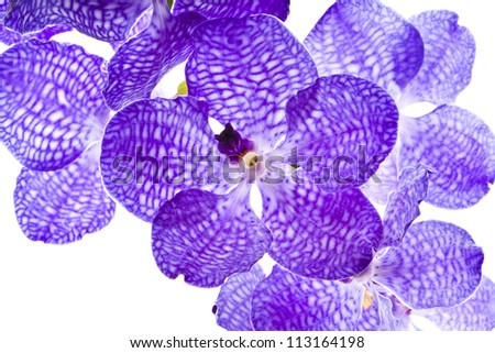 Blue orchid (vanda sansai blue) isolated on white