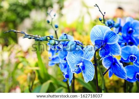 Blue orchids in the flower shop / de-focused flower background