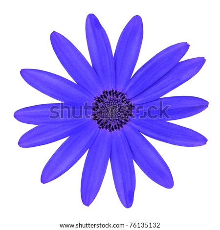 Blue Osteosperumum Flower Daisy Isolated on White Background. Macro Closeup