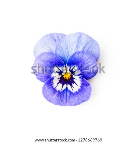 Blue pansy flower isolated on white background clipping path included. Spring garden viola tricolor. Top view, flat lay