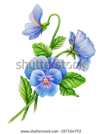 Stock Photo blue pansy viola flowers bouquet, isolated watercolor illustration