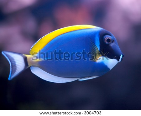stock photo : blue parrotfish
