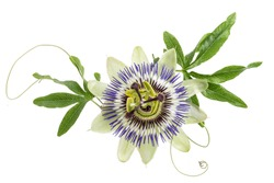 blue passion flower isolated on white
