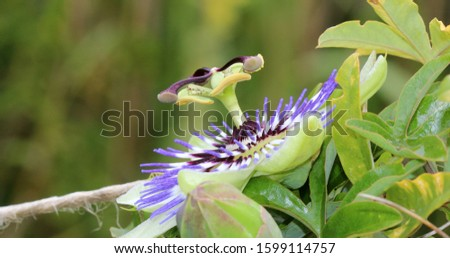 Blue passion flower - Passion flower