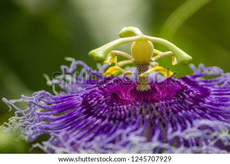 Blue Passion Flower/Passion Flower  close up
