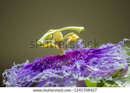 Blue Passion Flower/Passion Flower  close up background