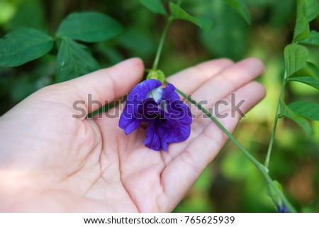 Blue Pea, Butterfly Pea and Clitoria Ternatea are the name of Thai Blue Tea.This flower is on the hand, health and nature product concept.