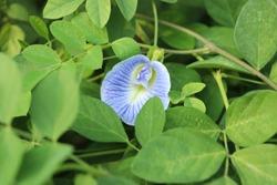 Blue pea flower in the garden. It known as Asian pigeonwings, Bluebellvine, Butterfly pea, Cordofan pea and Darwin pea.