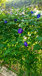 Blue Pea flower or Asian Pigeonwings (Clitoria ternatea), these vine plant is a blue variation of Butterfly Pea or in Indonesia called Kembang Telang