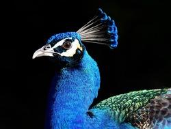Blue Peacock Head  Portrait on Black background