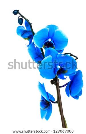 blue phalaenopsis