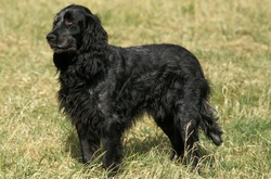 Blue Picardy Spaniel, Dog standing on Grass