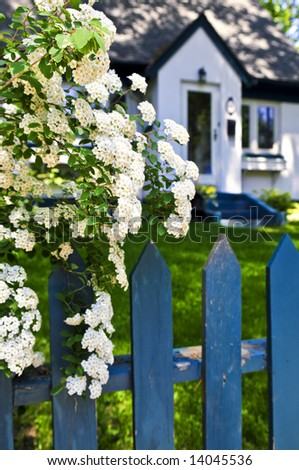 Blue picket fence with flowering bridal wreath shrub and residential house