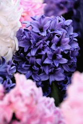 Blue, pink and white hyacinths, Watercolor.