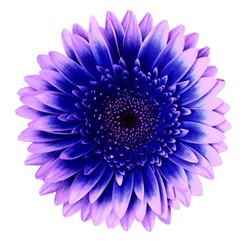 Blue-pink gerbera flower on a white isolated background with clipping path.   Closeup.   For design.  Nature.