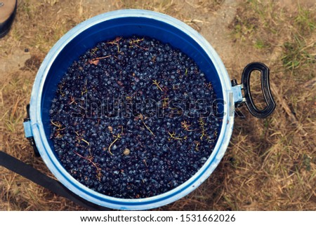 Blue plastic container full of red grapes clusters during the wine-making. Selective focus #1531662026