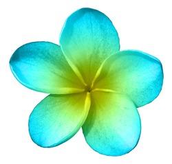 Blue Plumeria Clip Art