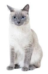 Blue-point colored thai cat sitting and looking at camera. Isolated on white.