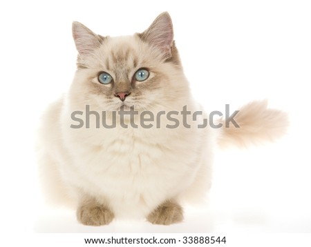 Blue point lynx Ragdoll cat on white background