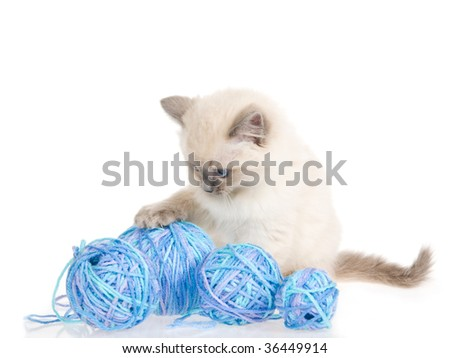 Blue point Ragdoll kitten with balls of yarn, on white background