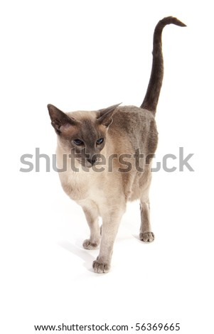 Blue point Siamese cat isolated over white