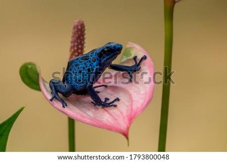 Blue poison-dart frog (Dendrobates tinctorius azureus) Stock foto ©