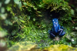 blue poison dart frog, dendrobates tinctorius closeup in terrarium. Reptile and zoo concept.
