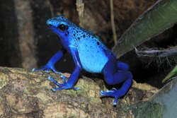 Blue poison dart frog (Dendrobates tinctorius f. azureus)