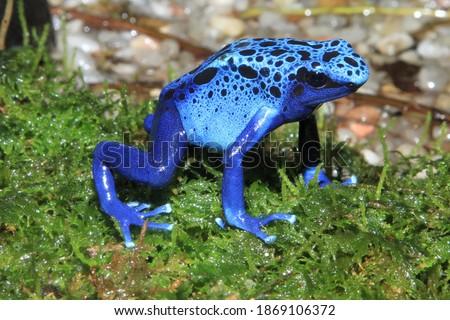 Blue poison dart frog (Dendrobates tinctorius f. azureus) Foto stock ©