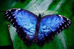 Blue Pretty Butterfly