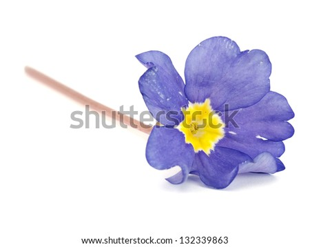 blue primula flowers on a white background