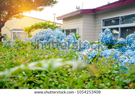 Blue-purple Hydrangea blooming and green leaves in front of my house with sunlight on the morning in the garden is honeysuckle flower. Breathe in aroma of spring.Concept floral postcard. #1054253408