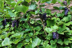 Blue red wine grapes on a branches in green laves background