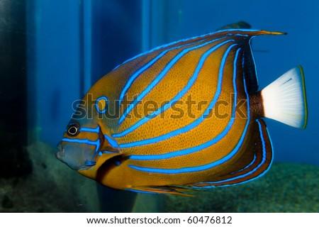 Pterophyllum altum Altum Angel  Seriously Fish