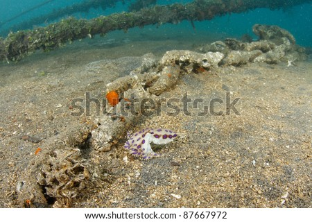 blue ringed octopus - one of the most venomous creatures on earth