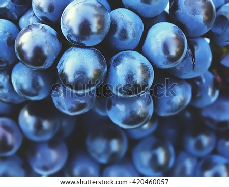 Blue ripe vine grapes close up. Large luxury grape bunch in sunlight. Grape harvest in autumn in countryside. Vineyard. Natural healthy vitamin food background.