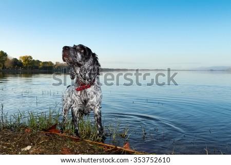 Blue Roan Cocker Spaniel stands in an Italian lake