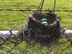 Blue robin's eggs in a nest atop a barbed wire fence.