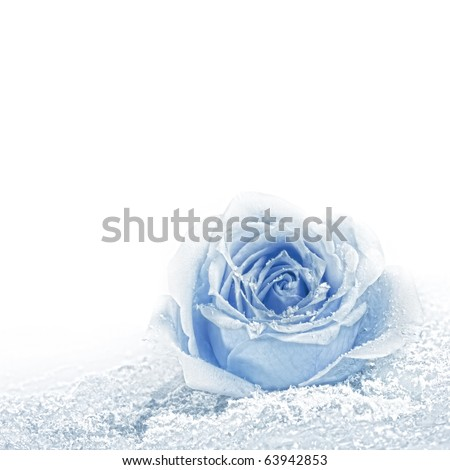 Blue rose covered with snow. Space for text. - stock photo