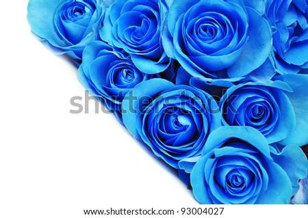Blue rose flower on white background.
