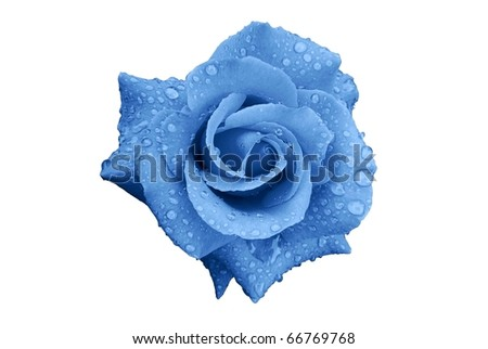 Stock Photo Blue Rose Flower with Rain Drops Isolated on White