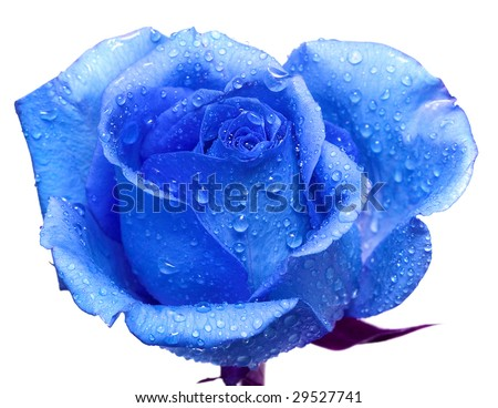 Stock Photo blue rose with water drops
